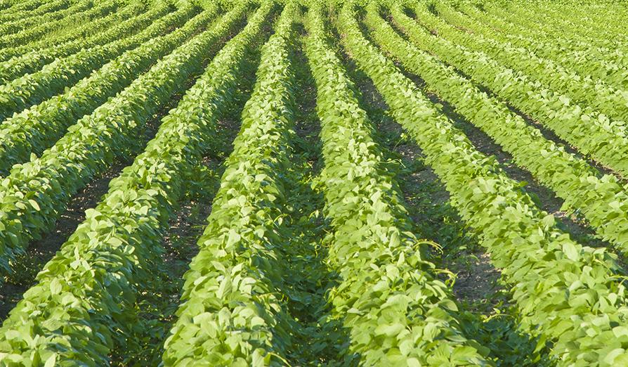 ***Post #1 cotton field